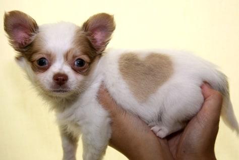 Image: Chihuahua