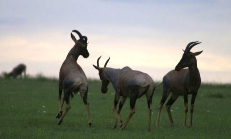 Image: antelopes