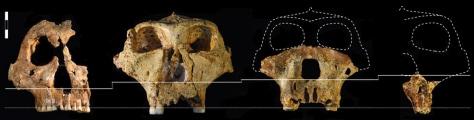 Image: Paranthropus robustus skull specimens