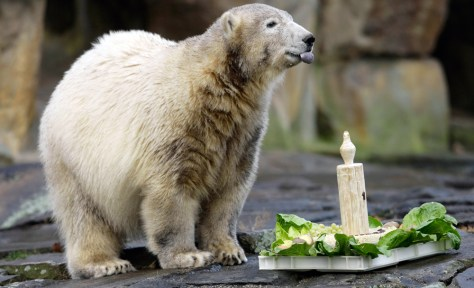Image: Polar bear Knut stands next to his birthday cake on his first birthday in the Berlin zoo.