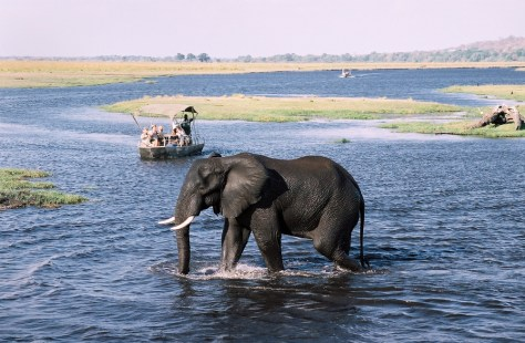 Image: Elephant in Chobe River, near Kasane, Botswana