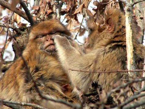 Image: barbary macaque