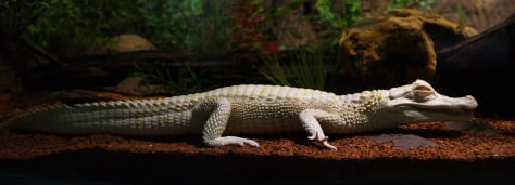 Image: An albino alligator