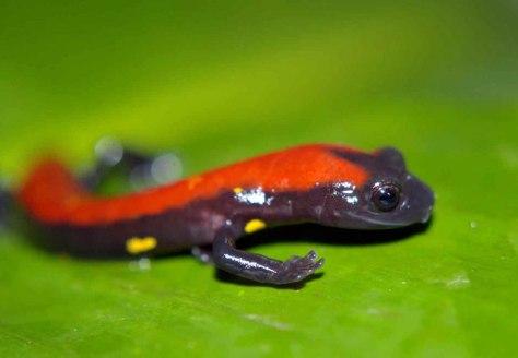 Image: new salamander