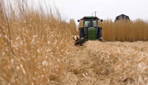 Image: Miscanthus grass is harvested