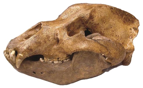 Image: Skull from the extinct Pleistocene cave bear, Ursus spelaeus