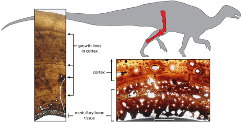 Image: Illustration shows cross-sections through the fossilized tibia, or shinbone, of a 120 million-year-old female plant-eating dinosaur called Tenontosaurus