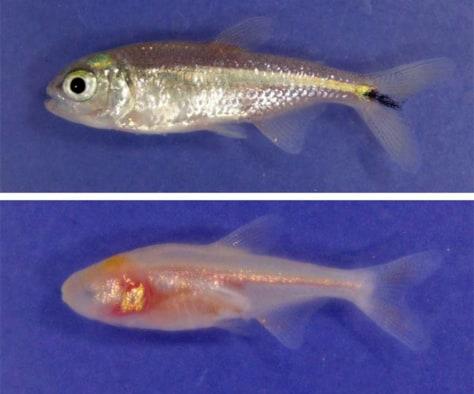 Image: Blind cavefish