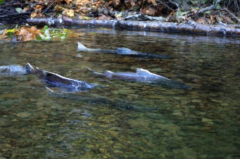 Image: Chinook salmon
