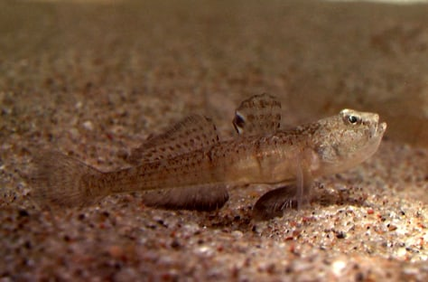 Image: Sand Goby fish