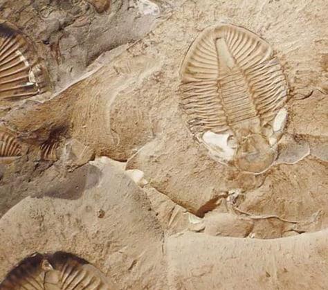 Image: Trilobites
