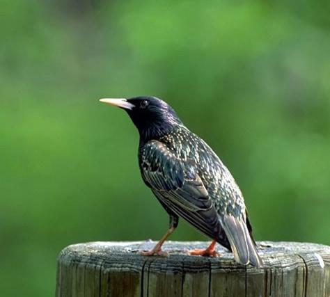 Image: European starling
