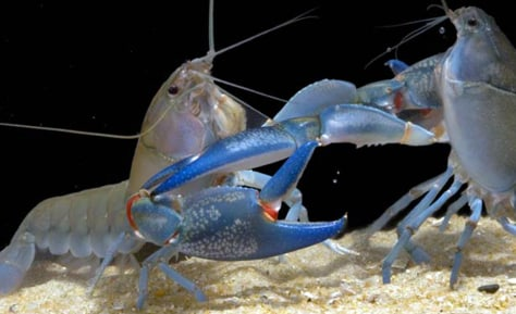 Image: Fighting yabbies (Cherax destructor)