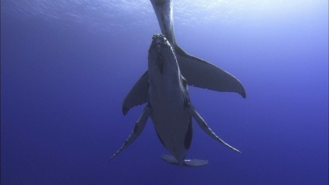 Image: Humpback whales