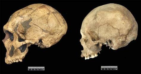 Image: Neanderthal and modern human skulls
