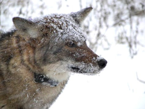 Image: Coyote wearing VHF collar