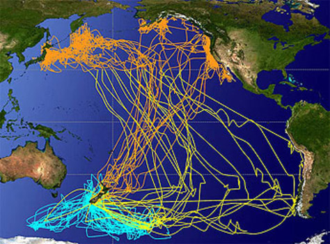 Image: Sooty shearwaters migration