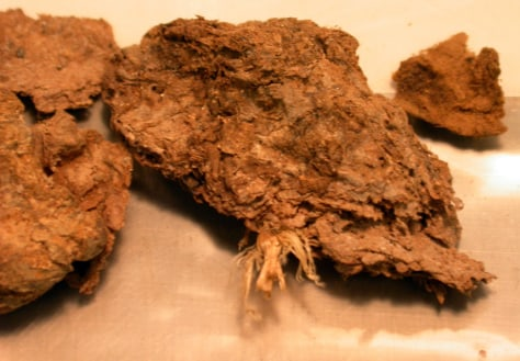 Image: Fossil feces from a cave deposit in Oregon