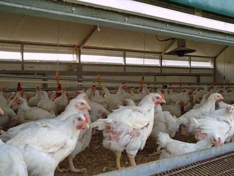 Image: Chicken farm