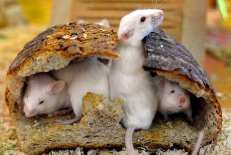 Image: mice