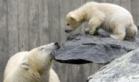 Image: Polar bear cub Wilbaer