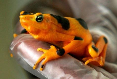 Image: Golden frog