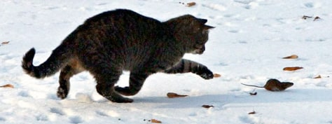 Image: A cat chases a mouse