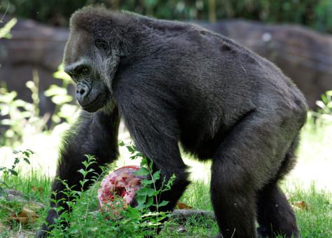 Female Gorilla - Jenny