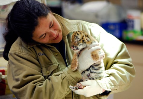 Image: Rare Amur tiger cub