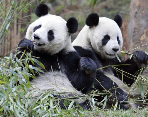 Image: Giant pandas
