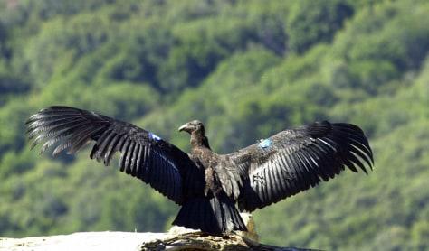 Image: Condor