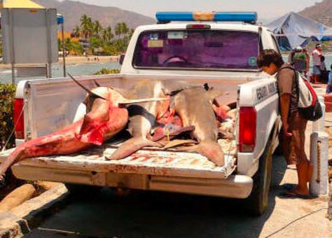 Image: Sharks killed after attack in Zihuatanejo