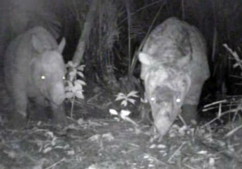 Image: Javan rhino and calf