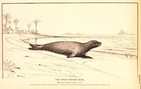 IMAGE: SKETCH OF CARIBBEAN MONK SEAL