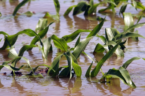 Image: Flooded corn