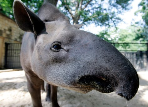 Image: George the Tapir