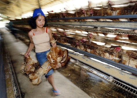 INDONESIAN FARMER CARRIES CHICKENS AT A POULTRY FARM IN BALI