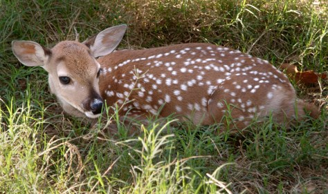 Image: Cloned deer