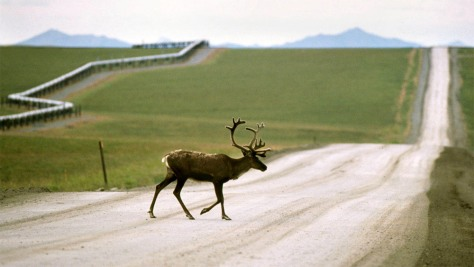 Image: Caribou crosses highway in Alaska