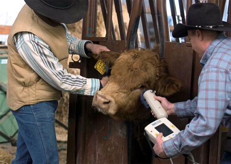 Ranchers scan cow
