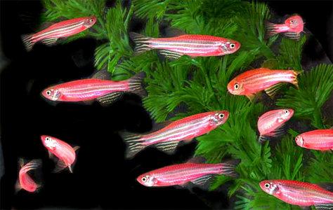 Image: GloFish