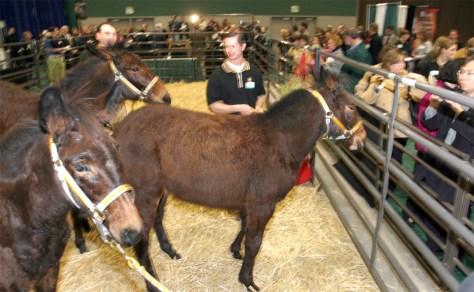 cloned mules