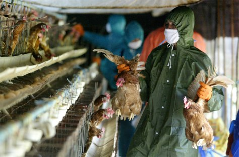 Image: Workers collect chickens