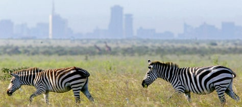 ZEBRAS OUTSIDE NAIROBI