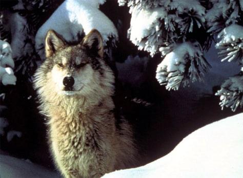GRAY WOLF IN ALASKA