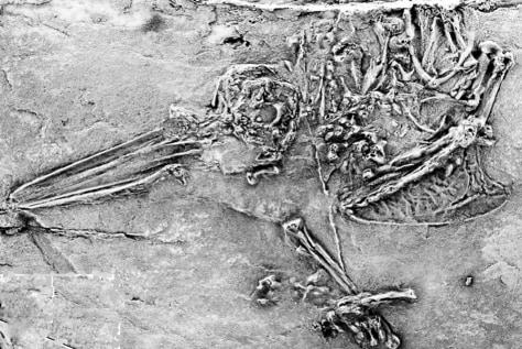 Image: Hummingbirdlike fossil