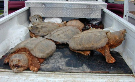 Image: Snapping turtles