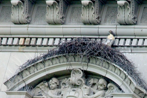 Image: Manhattan fledgling