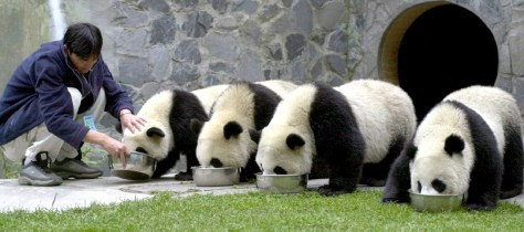 CHINESE WORKER FEEDS GIANT PANDAS