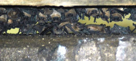 Mother bats roost with their young under bridge